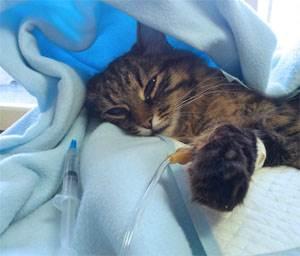 Асцит у котов и кошек - симптомы, лечение, препараты, причины появления