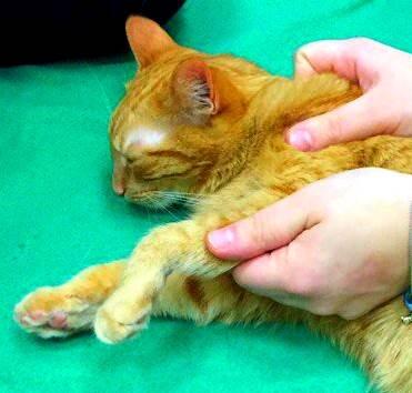 Как сделать массаж коту мочевого пузыря у 623