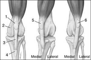 Медиальный вывих коленного сустава у собак сгибании руки локтевом суставе