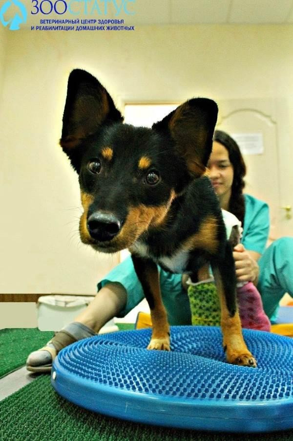 Перелом у собаки что делать и как лечить