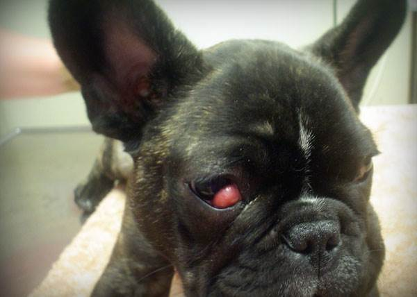 "Синдром ""вишневого глаза"" у собак. Ветклиника ""Зоостатус"""