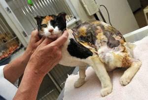 Ожоги у кошек и котов